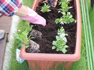 2016/09/26 お庭に「ビオラ」を植えました
