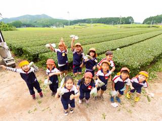 2018/6/18「茶摘み」4.5歳児、茶摘み体験。