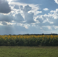 Beautiful clouds over sunflowers