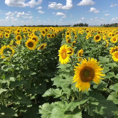 Sunflower Festival at Kansas Maze
