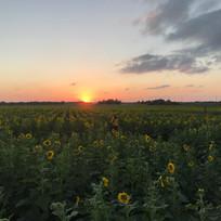 Sunset at sunflower field