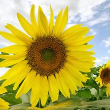 Gorgeous Sunflower in field