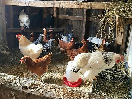 New laying hens are here!🐓.jpg