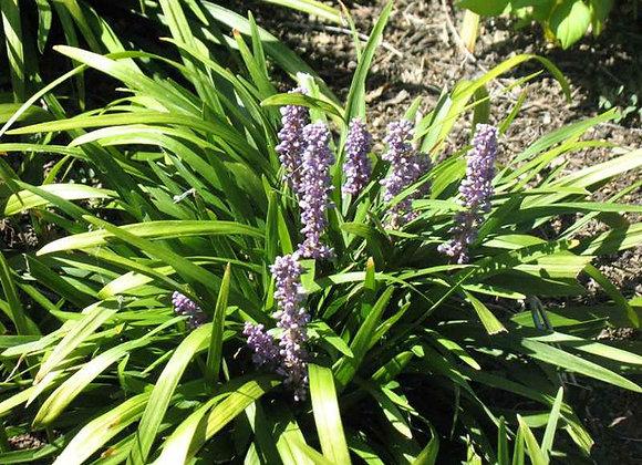 (LIRIOPE) Royal Purple Lily Turf
