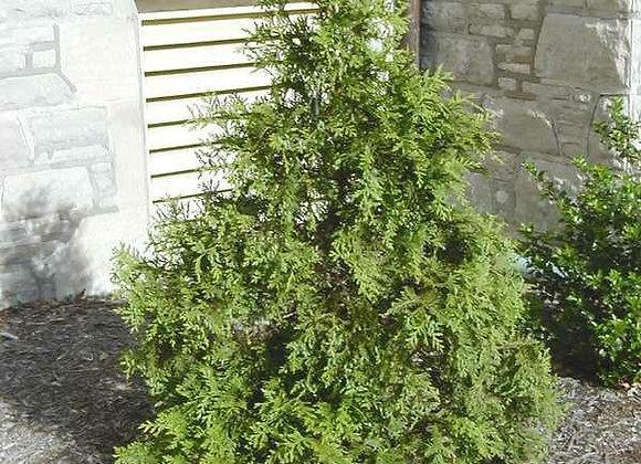 (THUJA) Green Giant Western Arborvitae