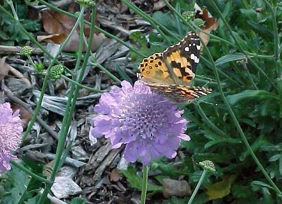(SCABIOSA) Butterfly Blue Pincushion Flower