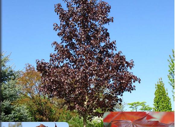 Crimson Sunset Maple