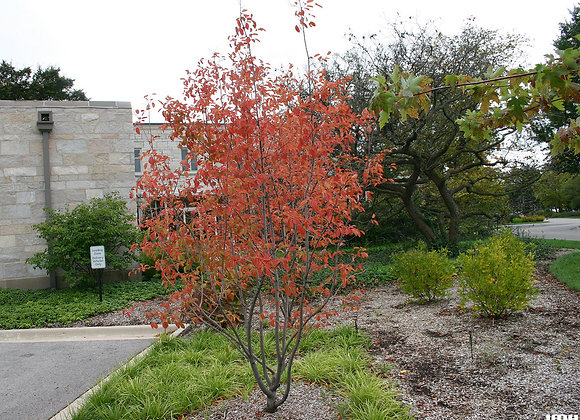 (AMELANCHIER) Autumn Brillance Serviceberry