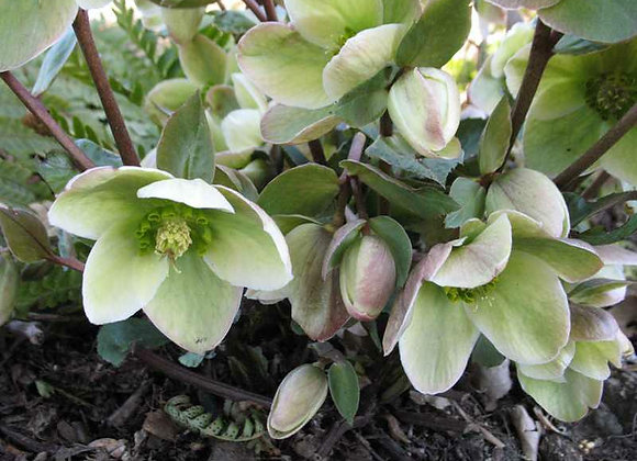 (HELLEBORUS) Ivory Prince Lenten Rose