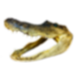 Medium Alligator 1 PNG.png