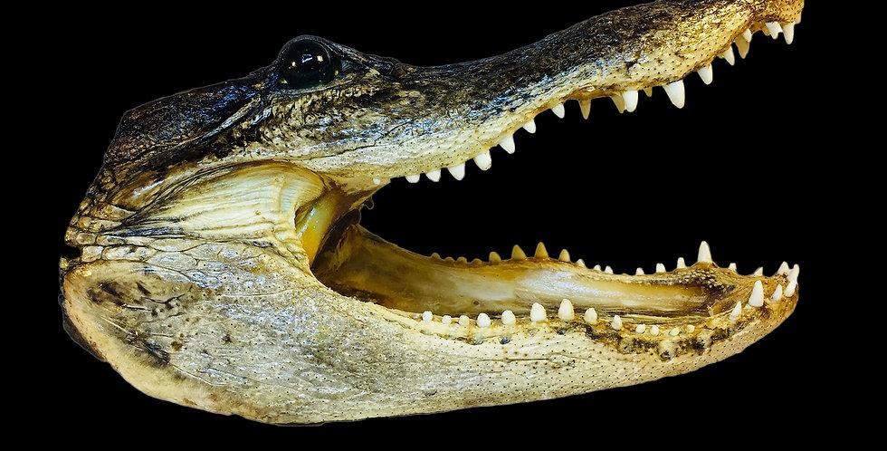 Alligator head (medium)