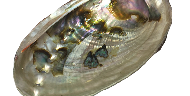 Abalone Shell - Red Or Green (polished one side)
