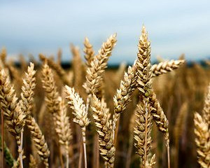 Has genetic manipulation played a part in gluten intolerance?