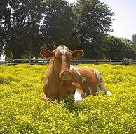 dogwood lane cow.jpg