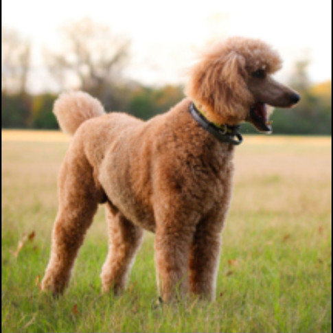 Sire: SIMBA AKC Red Standard Poodle