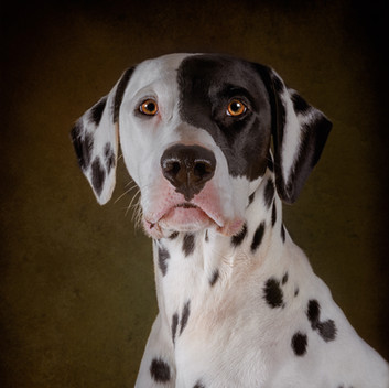 Alfie, the Patched Dalmatian