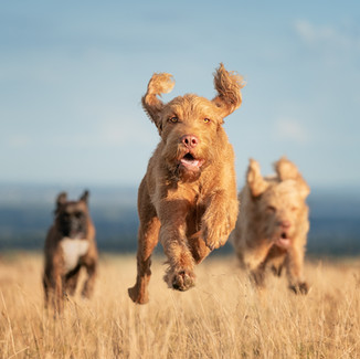 There's nothing happier than happy dogs.  Fun action photoshoots in Hampshire