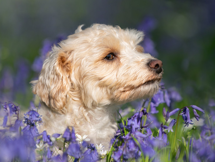 Bluebell portraits in Hampshire