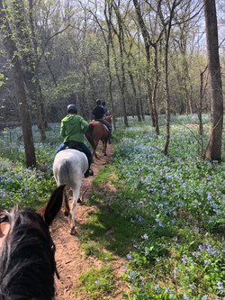 Bluebells blooming on the battlefield trails.