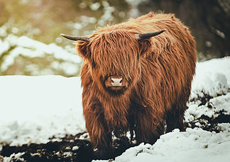 0209 - Highland Cow.jpg