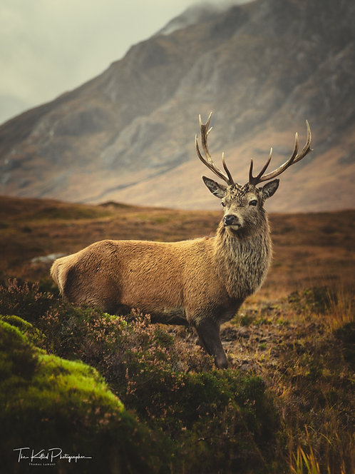 Majestic Stag (Portrait)