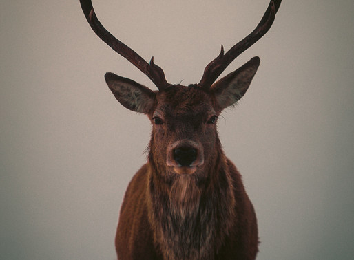 A Majestic Stag