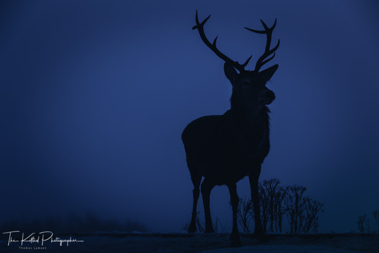 A Mighty Stag