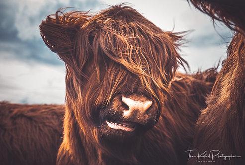 Do you like my hair? (Highland Coo)
