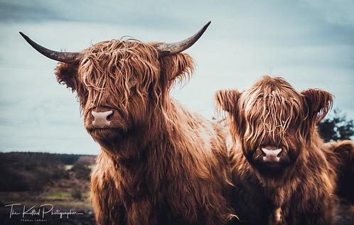 Highland Coos (Cows)