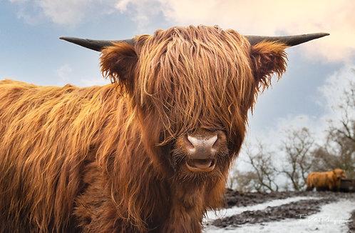 Highland Cow - Hello!