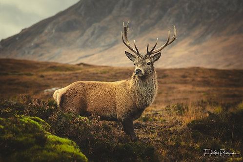Majestic Stag (Landscape)