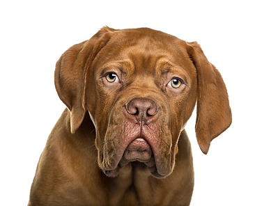 Dogue de bordeaux Web.png