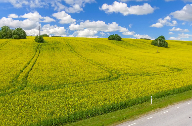 Yellow meadows of Germany