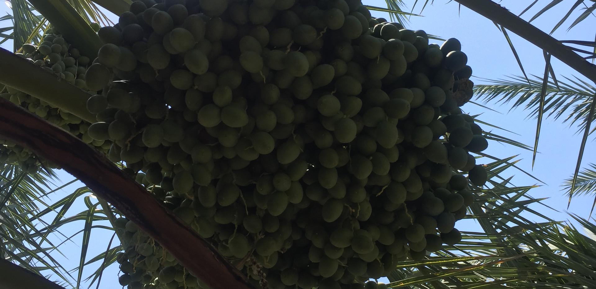 Berhi dates bottom view.JPG