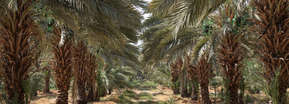 Tamara Farms dates trees