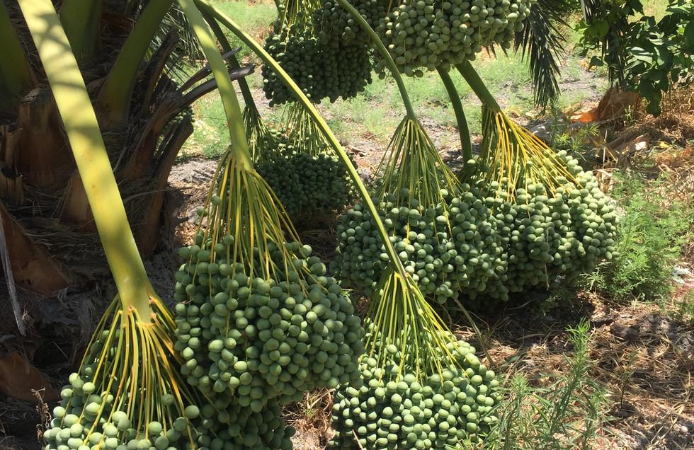 Berhi dates tree.JPG