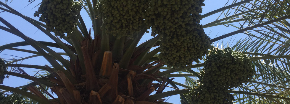 big berhi dates tree.JPG