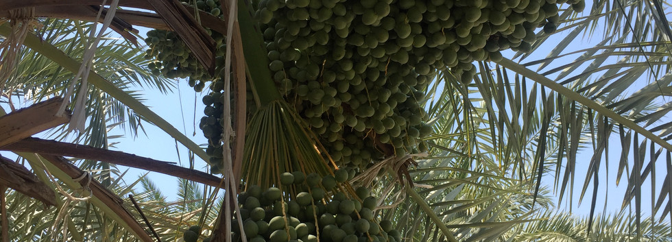 Berhi dates branches.JPG