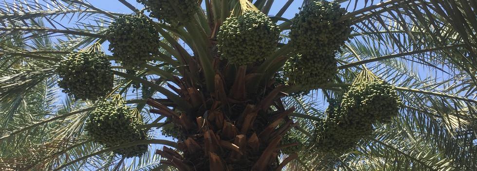 tall berhi dates tree.JPG