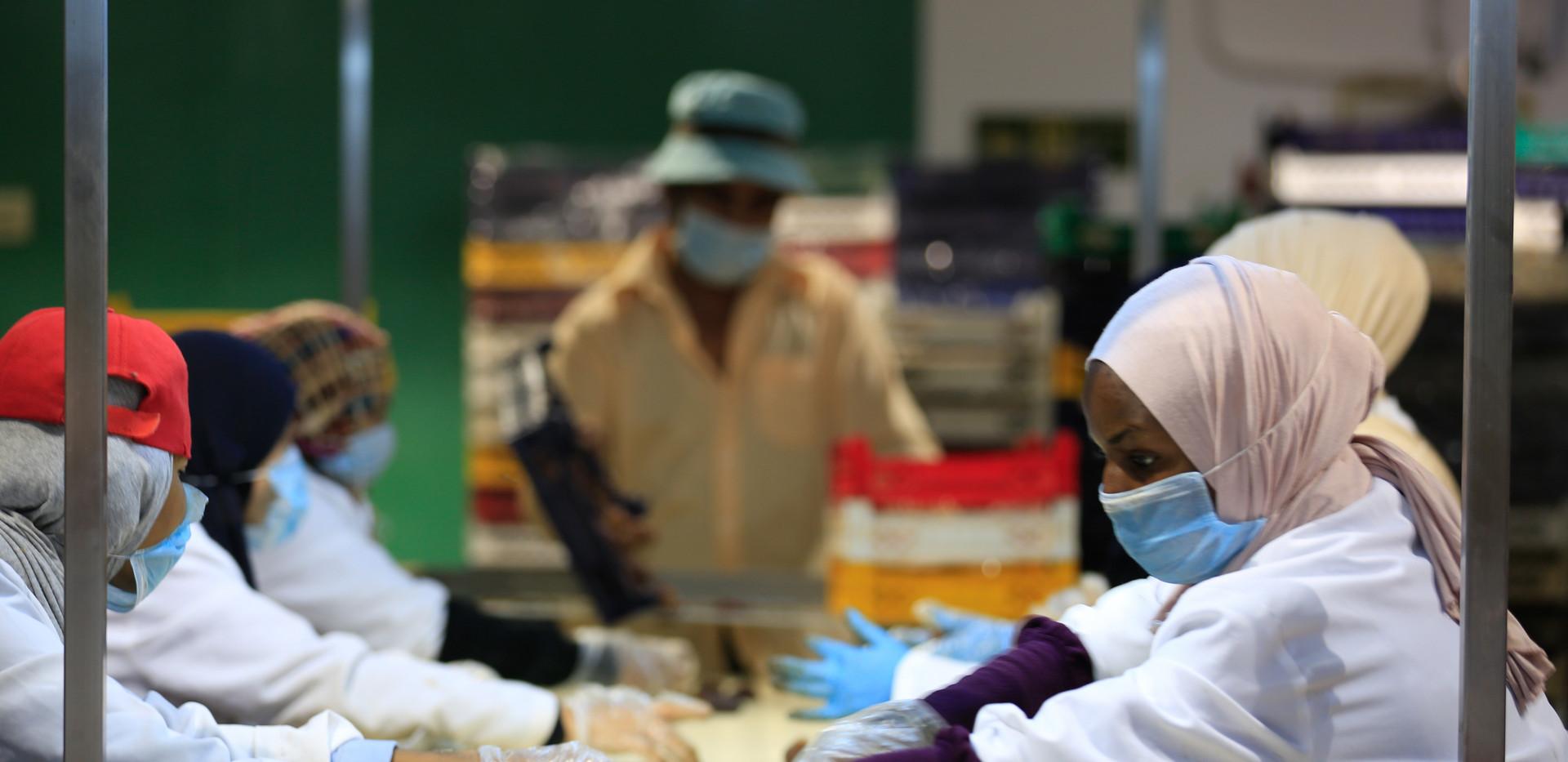 proccessing finest dates in tamara farms factory