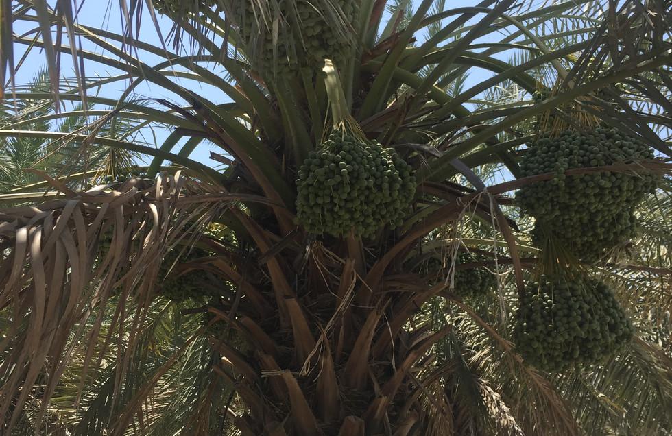 Tree berhi dates.JPG
