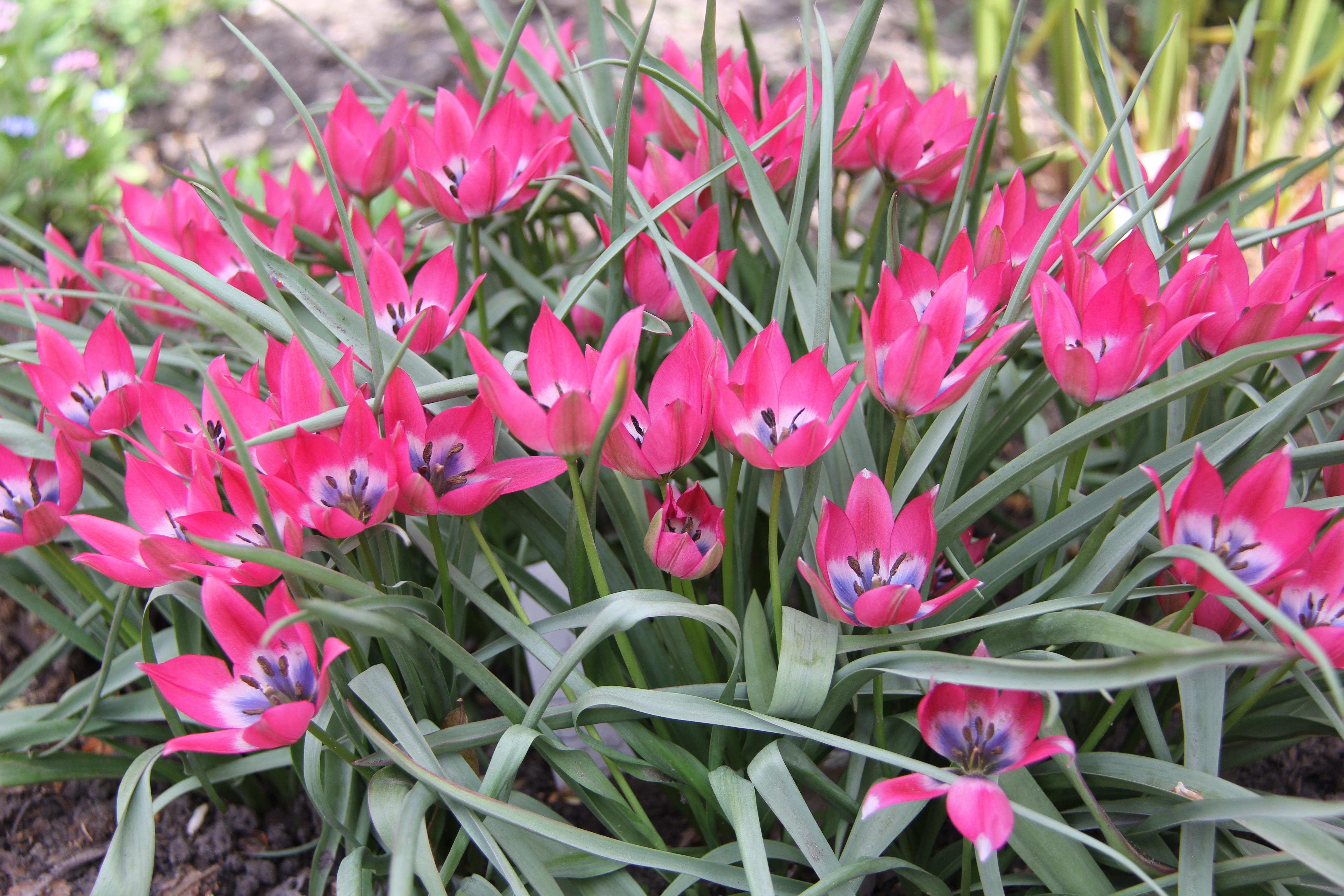 Тюльпан Ботанічний