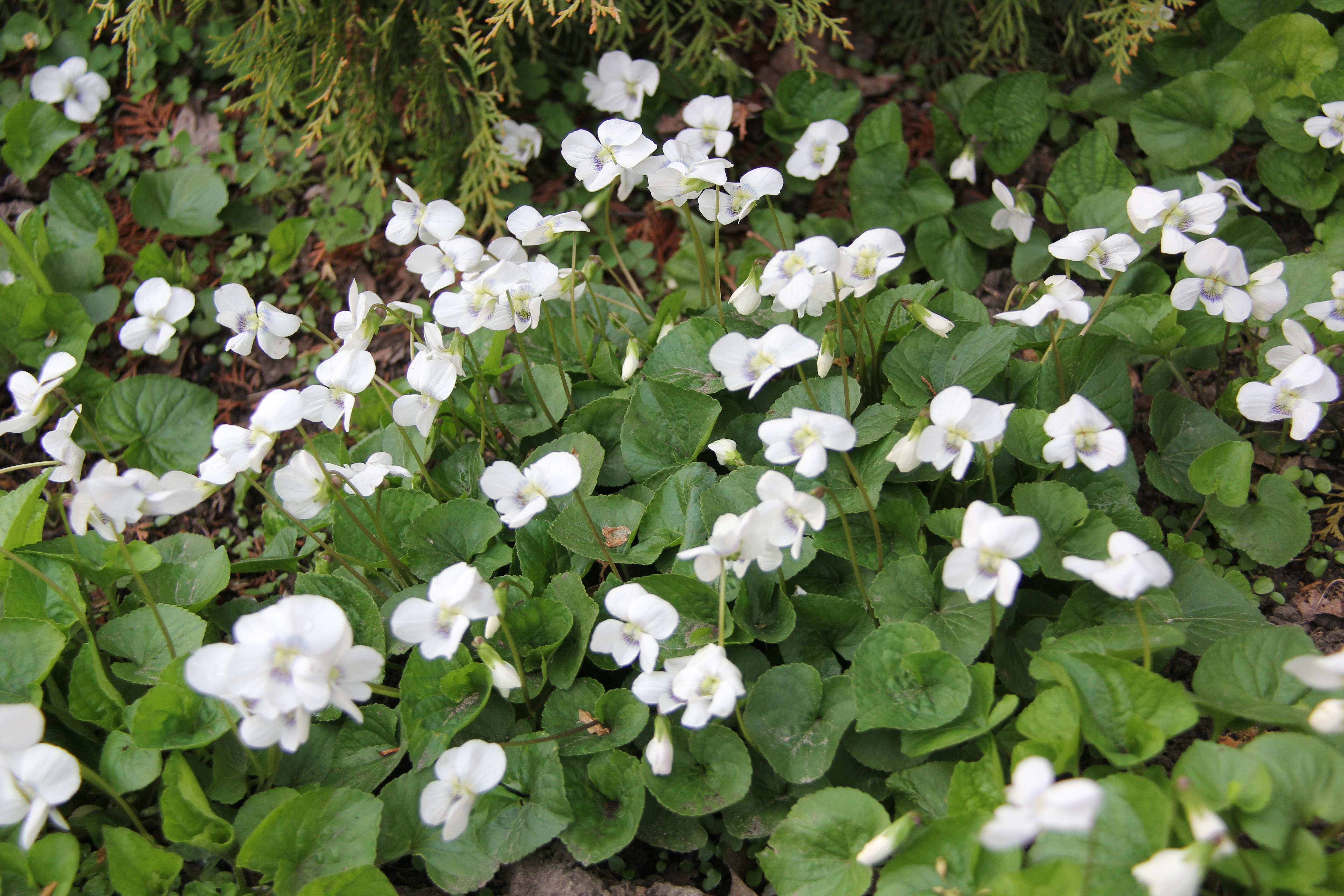 """Фіалки білі """"Albiflora"""""""