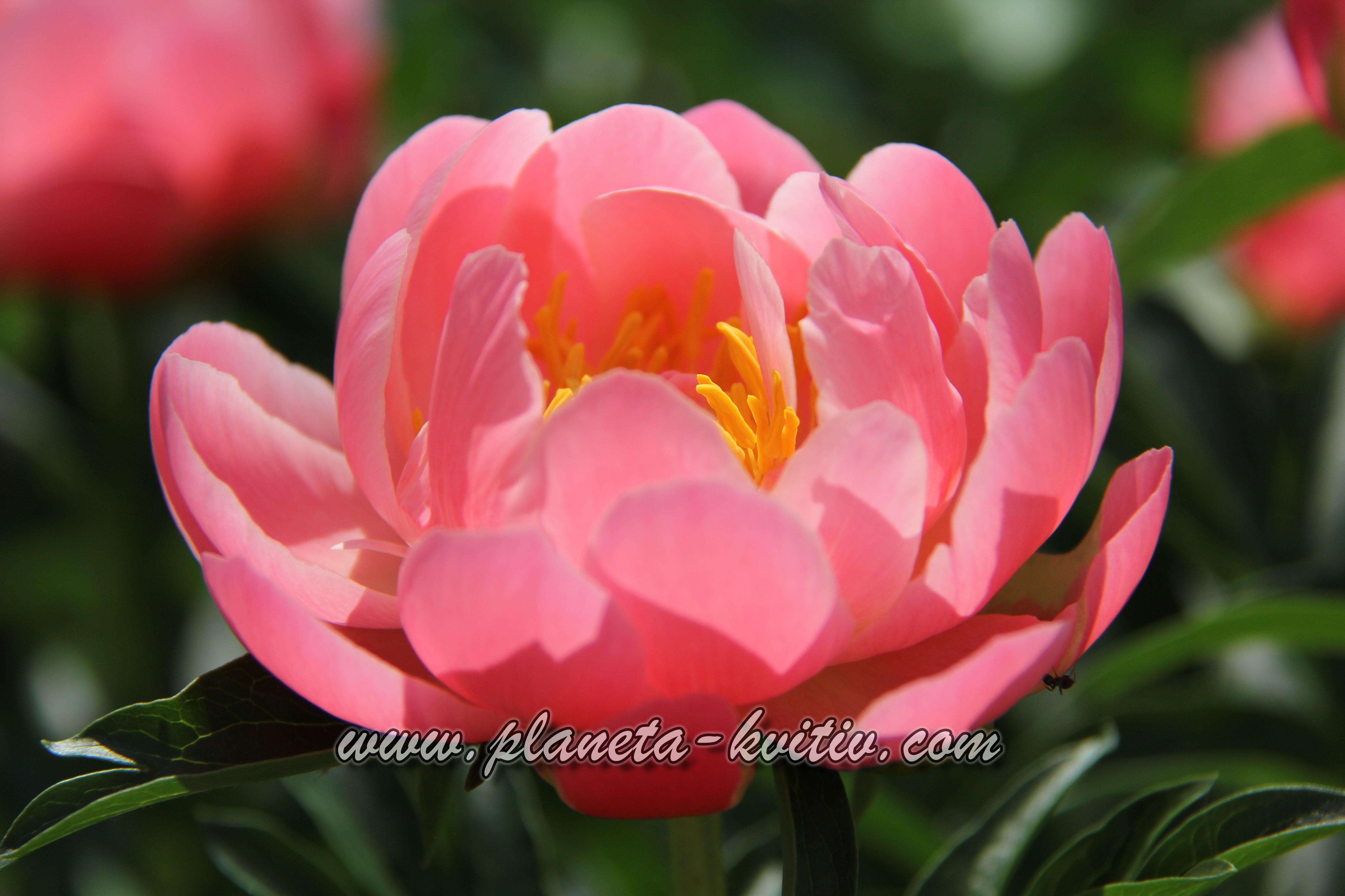 Pink Havanyan Coral