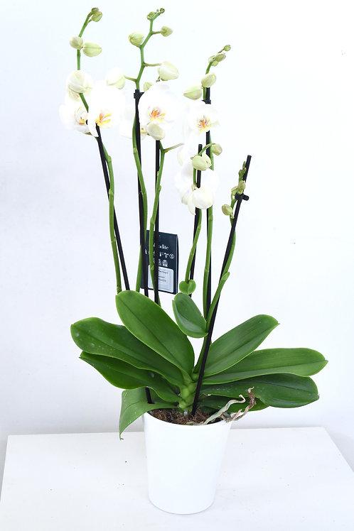 3-4 vanainen orkidea koristeruukussa