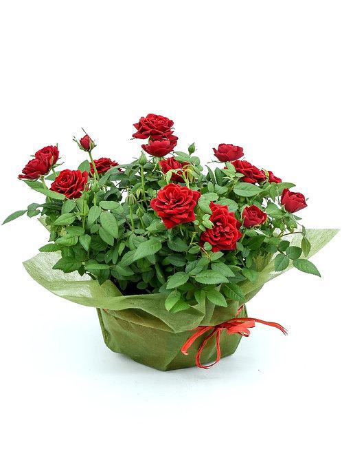 Ruusukulho (valitse väri)