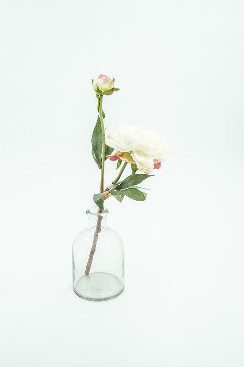 Pioni valkoinen/vaaleanpunainen