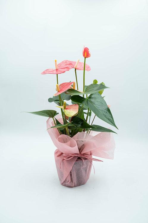 Flamingonkukka vaaleanpunainen