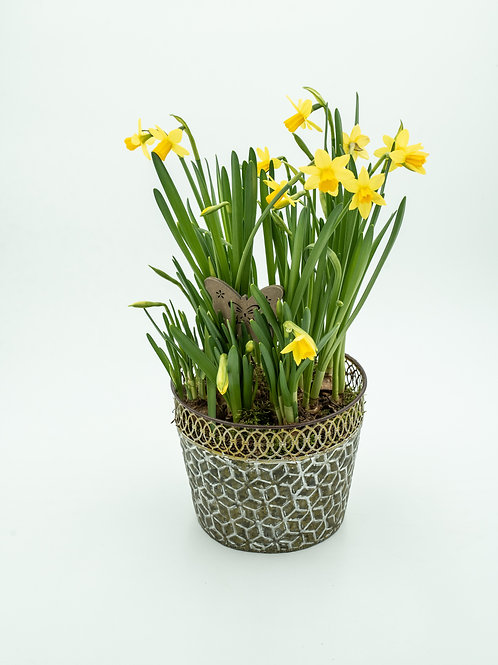 Narsissi-istutus peltiruukussa