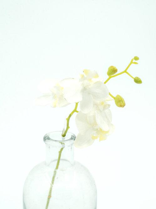 Miniorkidea valkoinen